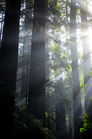 Sun rays through the fog and redwoods.